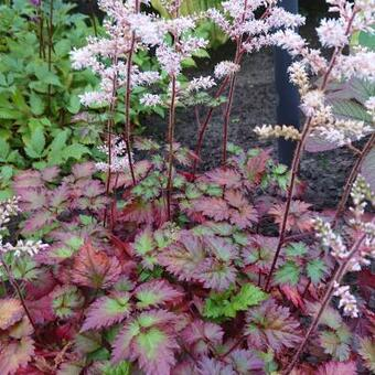 Astilbe x arendsii 'Beauty of Ernst'