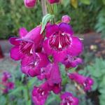 Penstemon hartwegii 'POLARIS Purple' - Slangekop