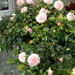 Rosa 'Cream FLOWER CIRCUS' - Roos
