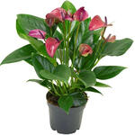 Anthurium andreanum MULTI FLORA Purple - Flamingoplant - Anthurium andreanum MULTI FLORA Purple