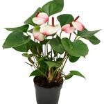 Flamingoplant - Anthurium andreanum 'Hotlips'
