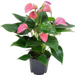 Anthurium andreanum MULTI FLORA  Rose - Flamingoplant - Anthurium andreanum MULTI FLORA  Rose
