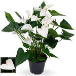 Anthurium andreanum 'White Winner' - Flamingoplant - Anthurium andreanum 'White Winner'