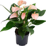 Anthurium andreanum MULTI FLORA Rose Clair - Flamingoplant - Anthurium andreanum MULTI FLORA Rose Clair