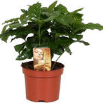 Coffea arabica - Koffieplant