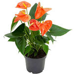 Anthurium andreanum  GRANDI FLORA Orange - Flamingoplant - Anthurium andreanum  GRANDI FLORA Orange
