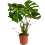 Gatenplant - Monstera deliciosa