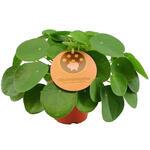 Pilea peperomioides - Pannekoekenplant - Pilea peperomioides