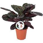 Calathea roseopicta 'Dottie' - Calathea - Calathea roseopicta 'Dottie'