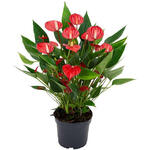 Anthurium andreanum MILLION FLOWERS Red - Flamingoplant