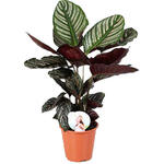 Calathea ornata - Calathea, Pauwenplant - Calathea ornata