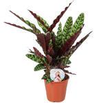 Calathea lancifolia - Calathea - Calathea lancifolia