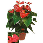 Flamingoplant - Anthurium andreanum GRANDI FLORA Red