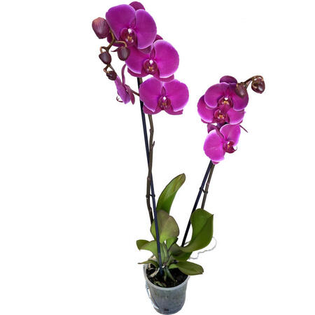 Phalaenopsis 'Joy Ride'