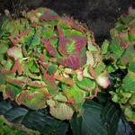 Hydrangea macrophylla REMBRANDT 'Vibrant Verde' -