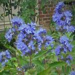 Caryopteris x clandonensis 'Blue Fountain' - Caryopteris x clandonensis 'Blue Fountain' - Baardbloem, Blauwe spirea