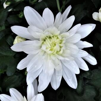 Chrysanthemum indicum 'Mount Runca White'