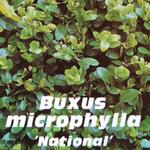 Buxus microphylla 'National' - Buxus, palm