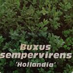 Buxus sempervirens 'Hollandia' - Buxus, palm
