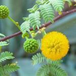 Acacia paradoxa - Acacia paradoxa - Mimosa, Kangoeroedoorn