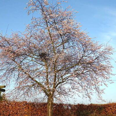 Prunus x subhirtella 'Autumnalis Rosea' -