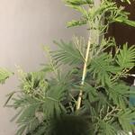 Acacia dealbata 'Gaulois Astier'  - Acacia dealbata 'Gaulois Astier'  - Mimosa