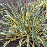 Yucca filamentosa 'Bright Edge' - Yucca filamentosa 'Bright Edge' - Palmlelie