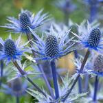 Kruisdistel - Eryngium zabelii (x) 'Big Blue'