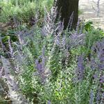 Russische salie - Perovskia atriplicifolia 'Blue Spire'