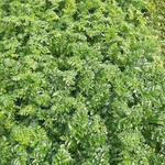Angelica pachycarpa - Portugese angelica, Engelwortel - Angelica pachycarpa