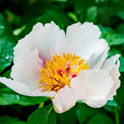 Paeonia suffruticosa  (wit) -