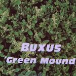 Buxus 'Green Mound' - Buxus 'Green Mound' - Buxus, randpalm