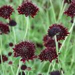 Scabiosa atropurpurea 'Chile Black' - Scabiosa atropurpurea 'Chile Black' - Duifkruid/Schurftkruid