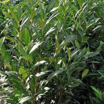 Prunus Laurocerasus 'Herbergii -