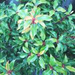 Portugese laurier - Prunus lusitanica 'Brenelia'