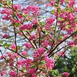 Ribes sanguineum - Siertrosbes - Ribes sanguineum