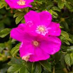 Rosa nitida - Roos, wilde roos - Rosa nitida