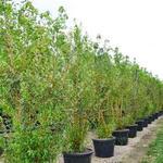 Salix alba var. vitellina - Wilg - Salix alba var. vitellina
