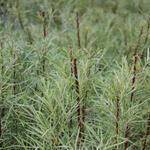Salix elaeagnos subsp. angustifolia - Rozemarijnwilg - Salix elaeagnos subsp. angustifolia