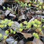 Salix repens - Kruipwilg - Salix repens