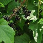 Ribes nigrum 'Titania' - Zwarte bes - Ribes nigrum 'Titania'