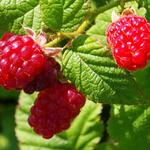 Rubus idaeus 'Tulameen' - Zomerframboos - Rubus idaeus 'Tulameen'