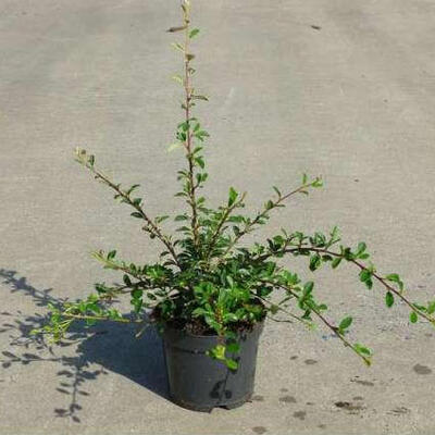 Cotoneaster  radicans 'Eichholz' -