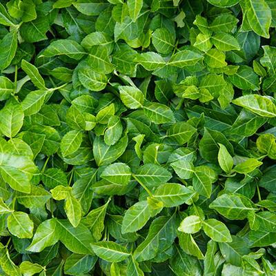 Euonymus fortunei 'Coloratus' -