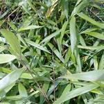 Fargesia scabrida 'Asian Wonder' - Japanse bamboe - Fargesia scabrida 'Asian Wonder'