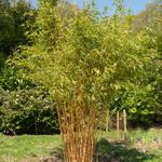 Phyllostachys aurea - Gouden bamboe, Reuzenbamboe - Phyllostachys aurea