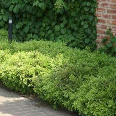 Buxus microphylla 'Rococo' - Buxus, randpalm