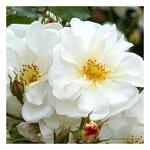 Rosa 'Diamant'  - Roos - Rosa 'Diamant'