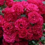 Rosa 'Gärtnerfreude' - Roos - Rosa 'Gärtnerfreude'