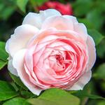 Roos - Rosa 'Herzogin Christiana'